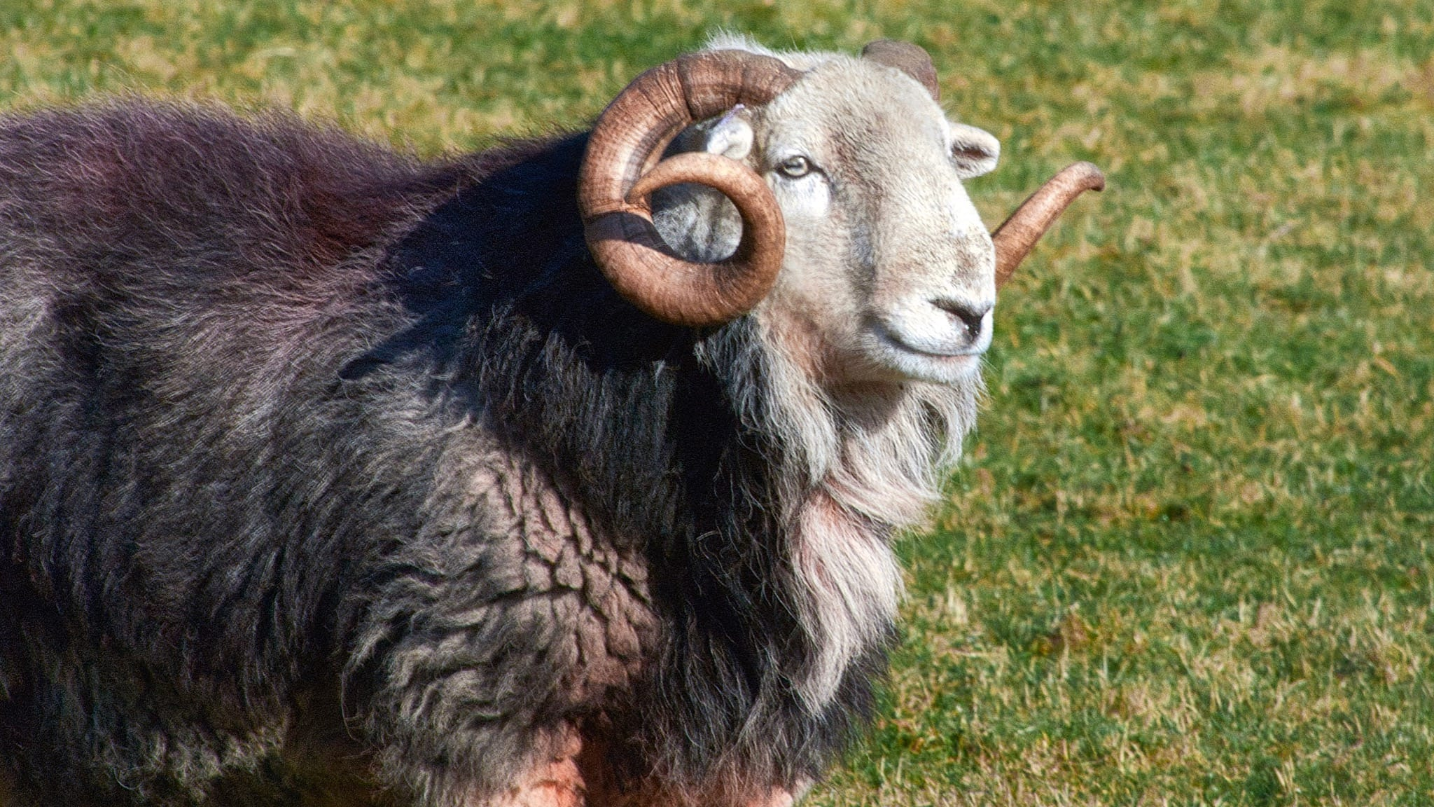 An older Herdwick tup (ram) with curled horns, dark grey, mane, and white face