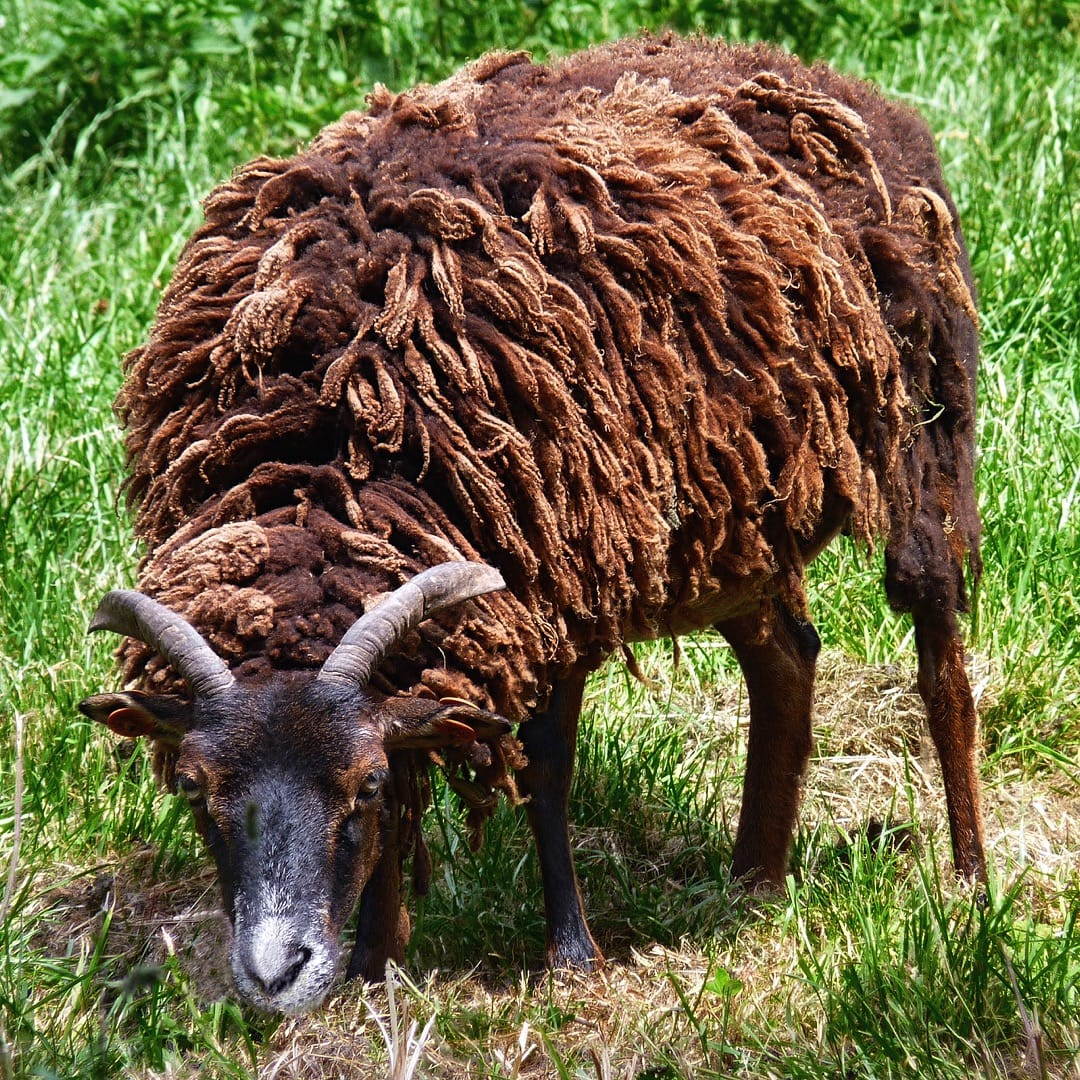 Soay sheep, picture taken in Belgium. Photo by Jamain, licensed GNU FDL.