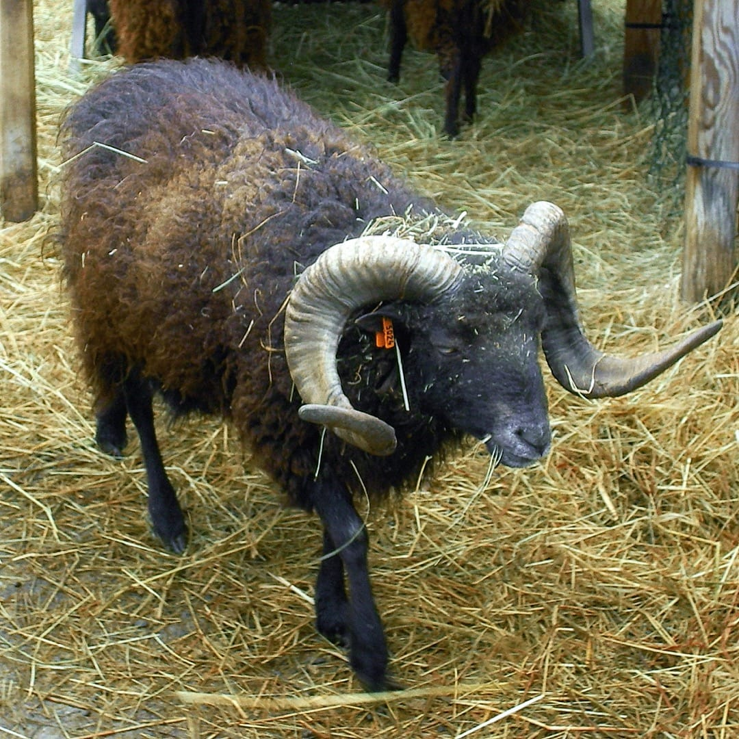 A male Ouessant sheep in France/Stassbourg. Photo by Seegraswiese, licensed GNU FDL.