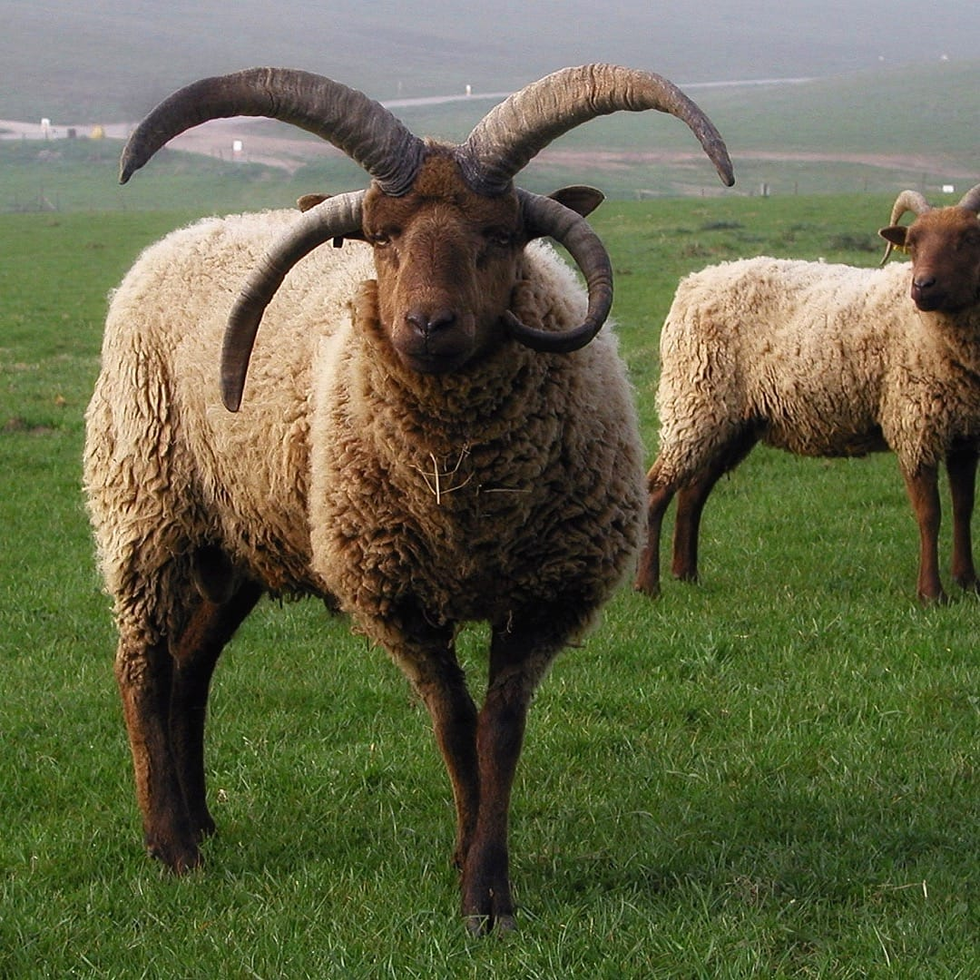 Manx Loaghtan sheep. Photo by EFearn, licensed CC-by-SA-4.0.