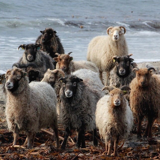 North Ronaldsay sheep, distant relatives of Herdwick sheep