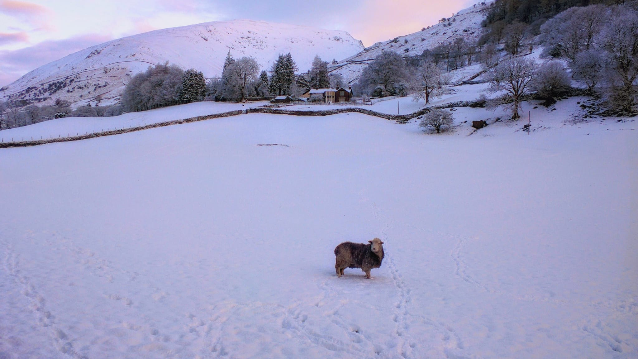 A lone Herdwick sheep ewe stands in a completely snow covered early one morning, with the Grasmere fells of Seat Sandal in the distance
