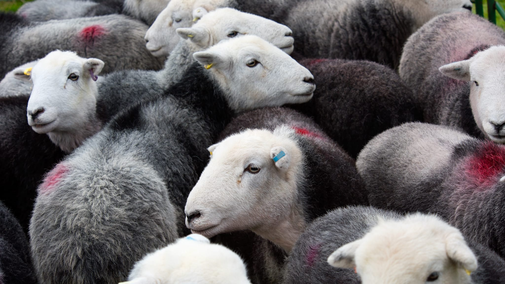 A flock of Herdwick sheep ewes all huddled together, with smit marks on them
