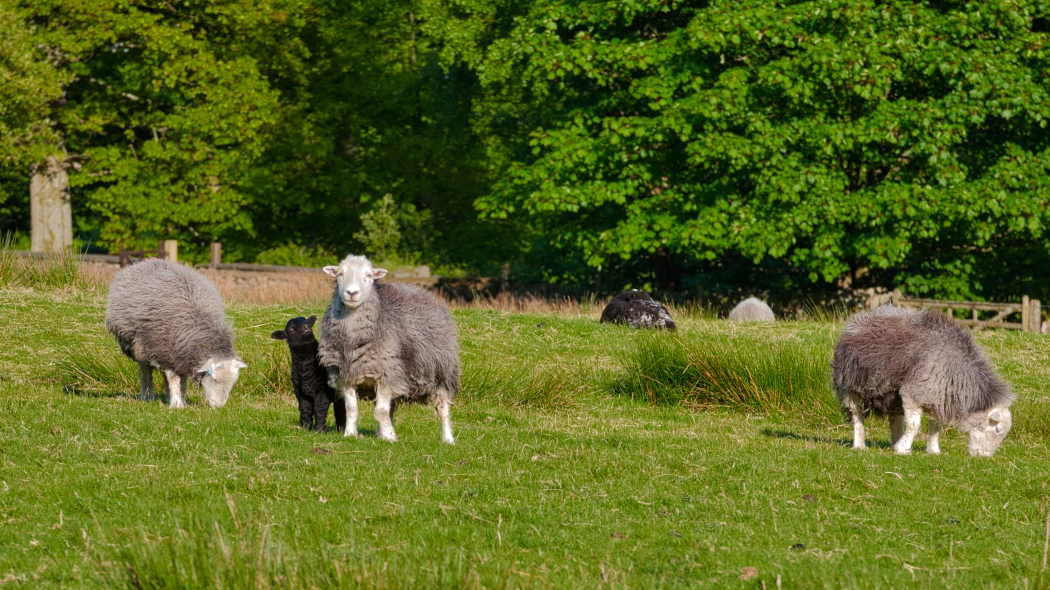 Herdwick sheep ewes and their lambs, grazing on the spring grass