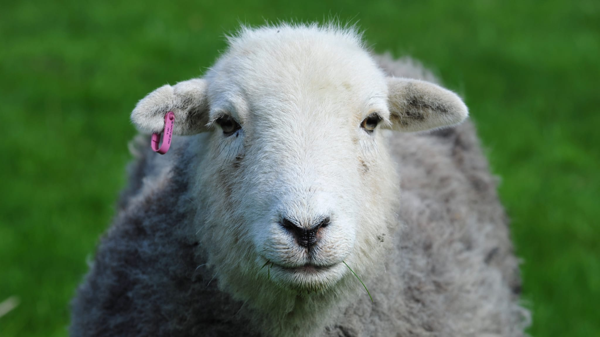 A close-up face-on photo of a Herdwick sheep ewe and its smiling face