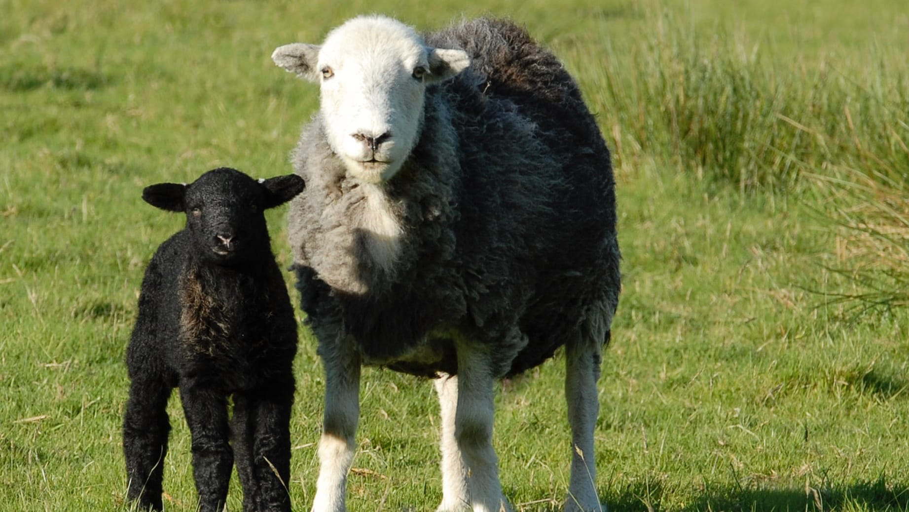 A Herdwick sheep ewe looking at the camera with its black lamb by its side