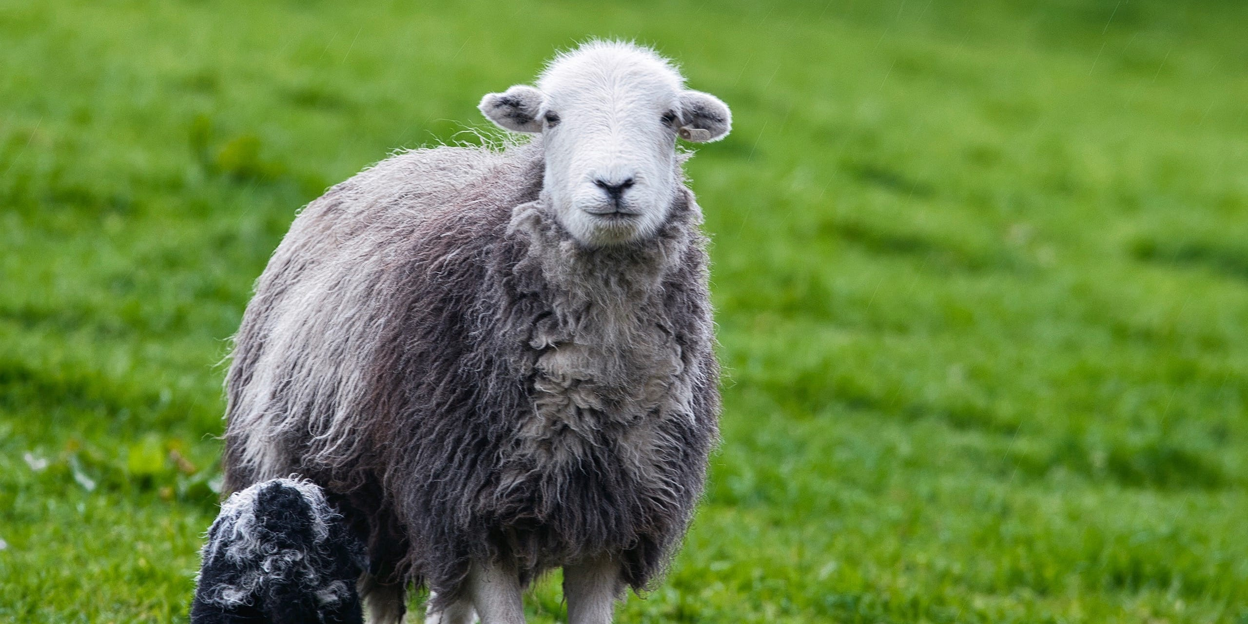 Learn All About Herdwick Sheep