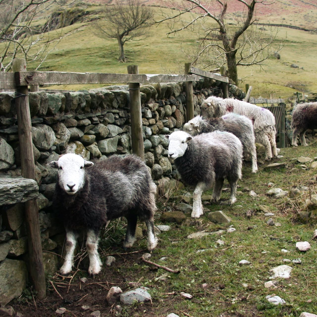 """Herdwick Sheep, Lake District"" by David Jones, licensed CC-2.0"