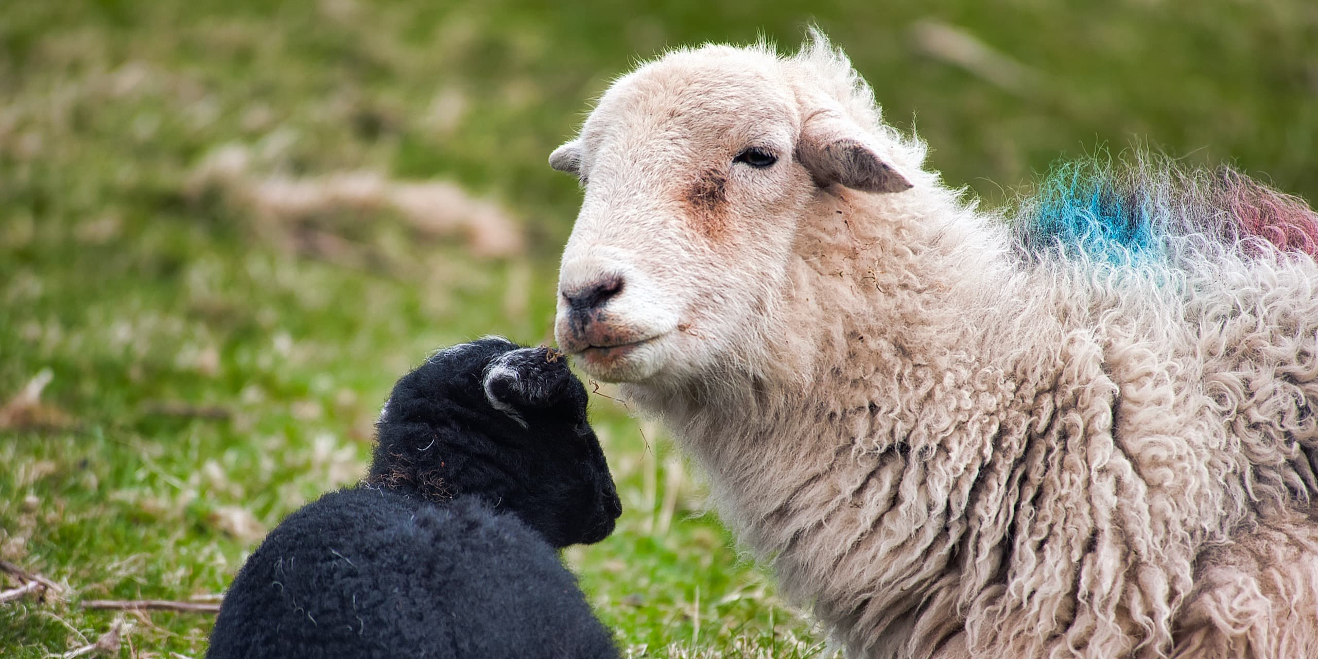 Lambing Time On A Herdwick Farm