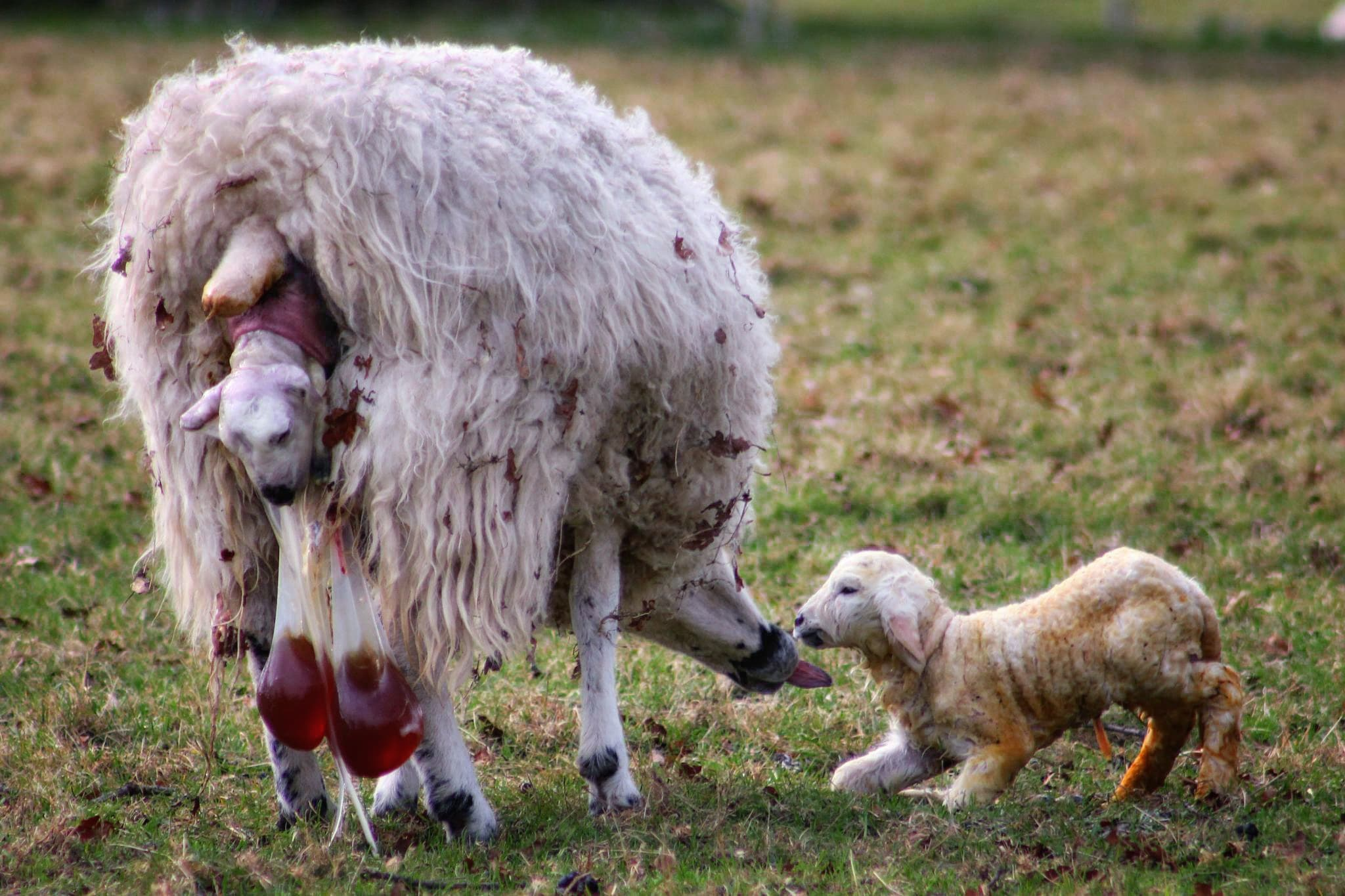 Lambing time in England. Photo by Karen Roe, licensed CC-2.0.