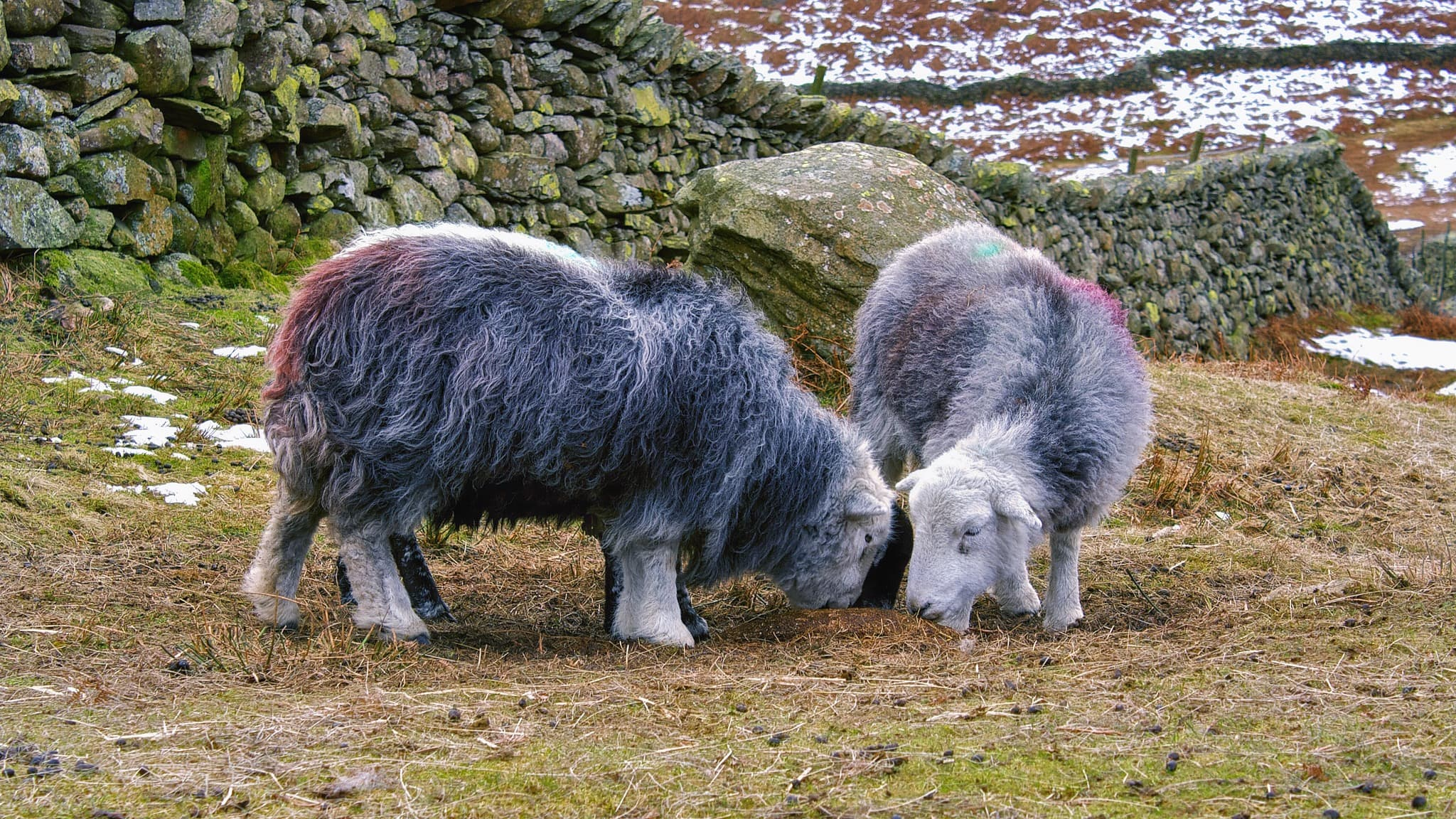 Herdwicks grazing in the Lake District. Photo by Alexander Baxevanis, licensed CC-BY-2.0