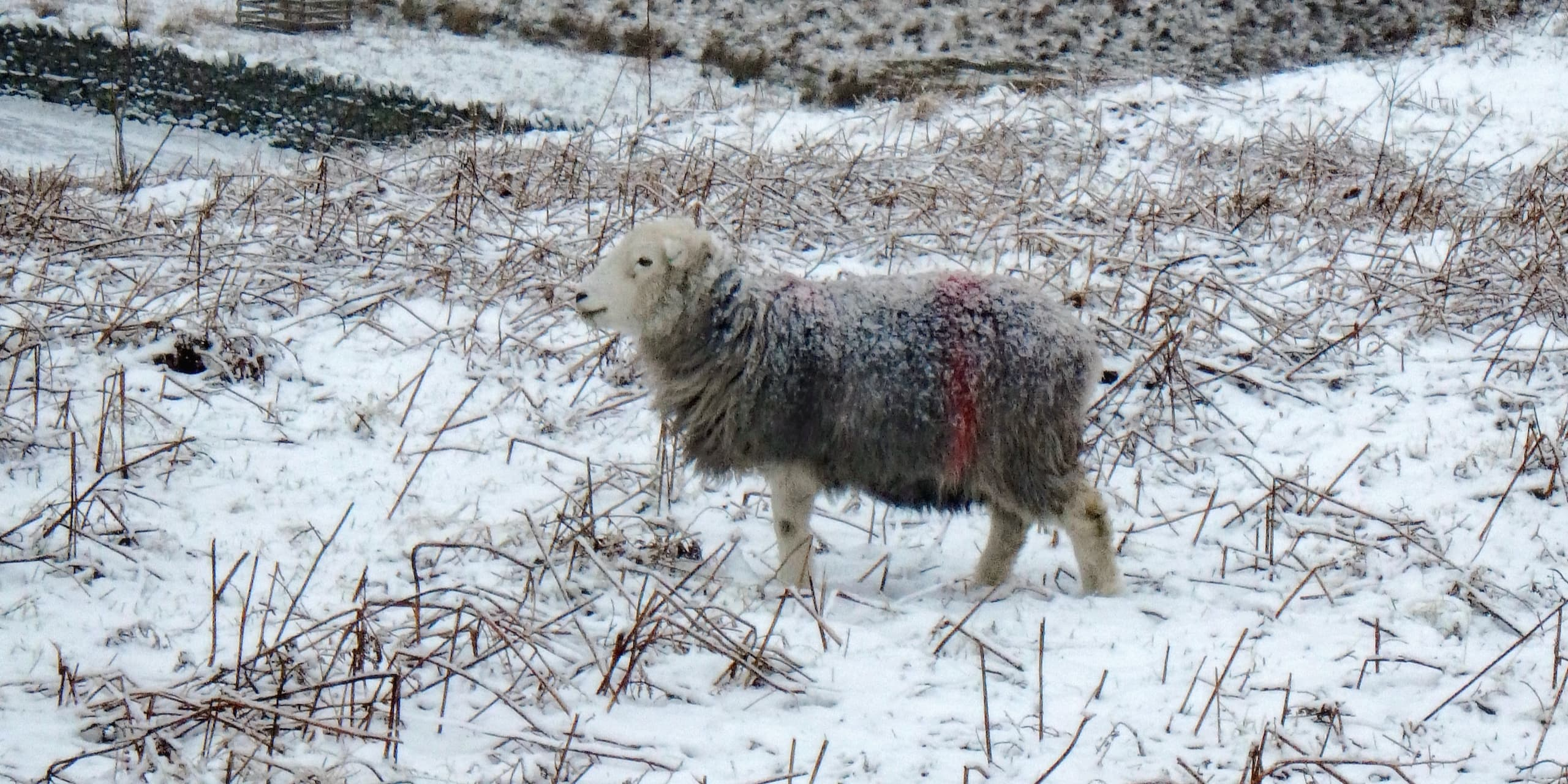Mid-Winter On A Herdwick Farm