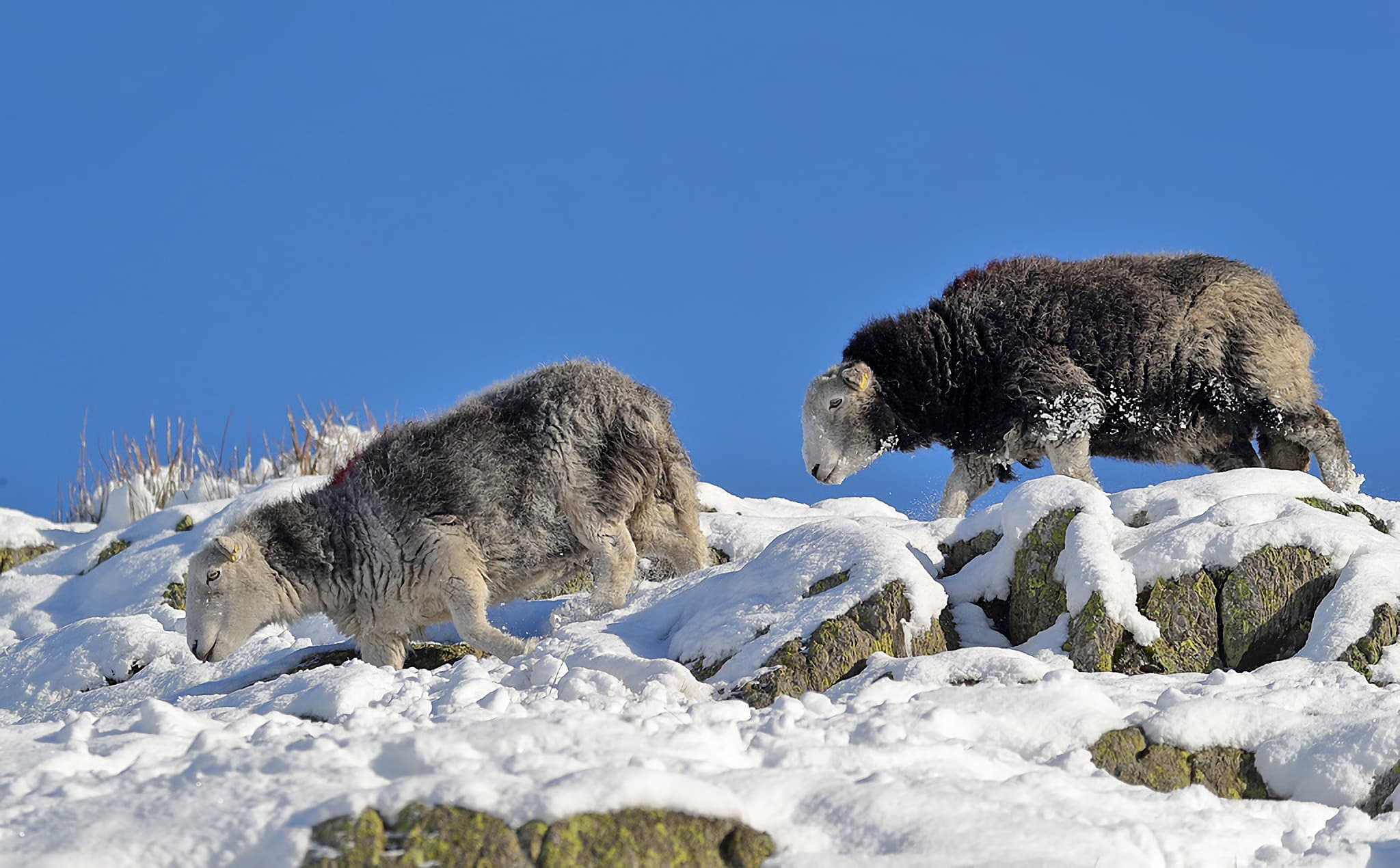 """Herdwick sheep at Reggie Knott"" by Walter Baxter, licensed CC-BY-SA/2.0"