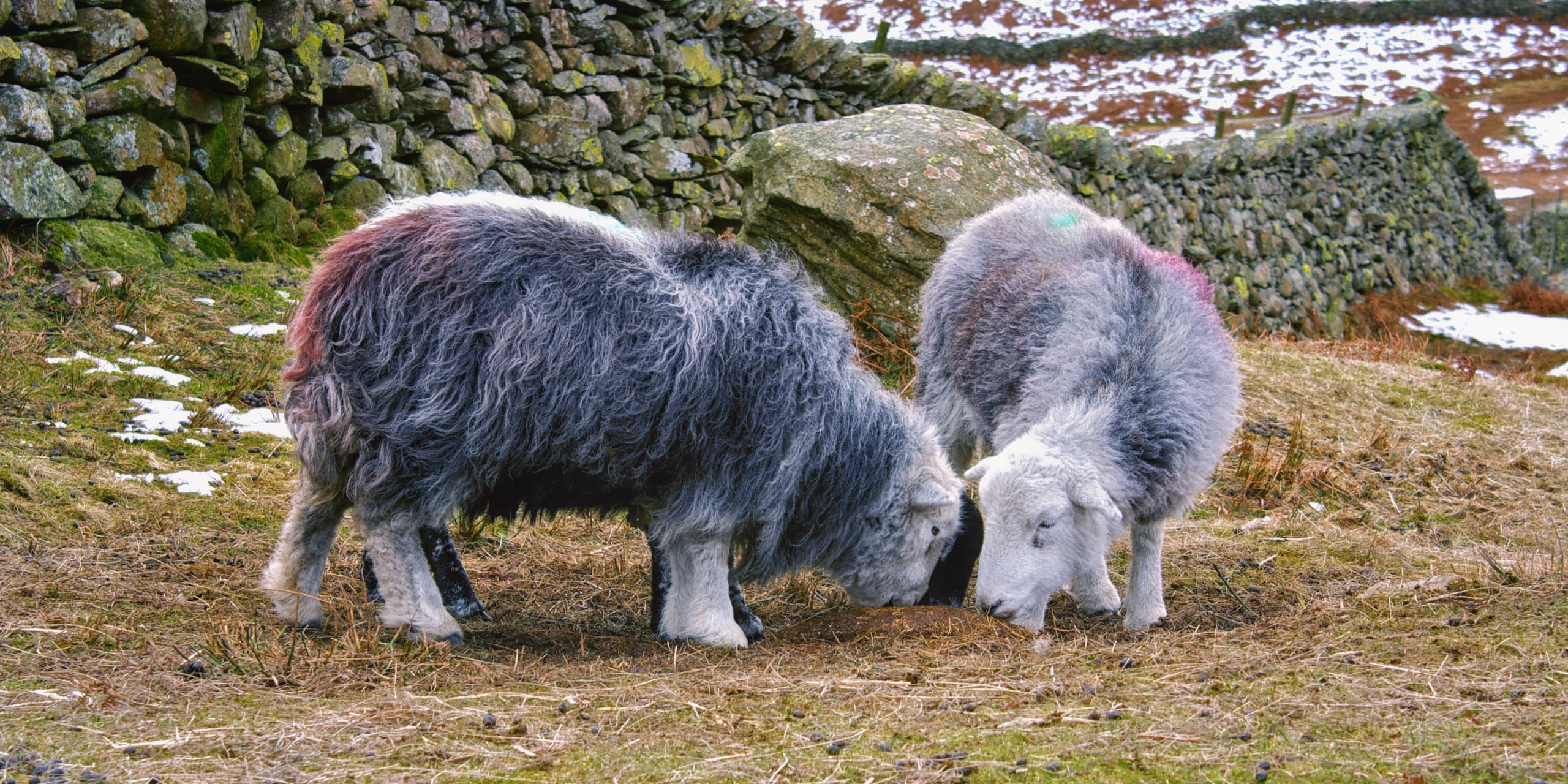 Late Winter On A Herdwick Sheep Farm