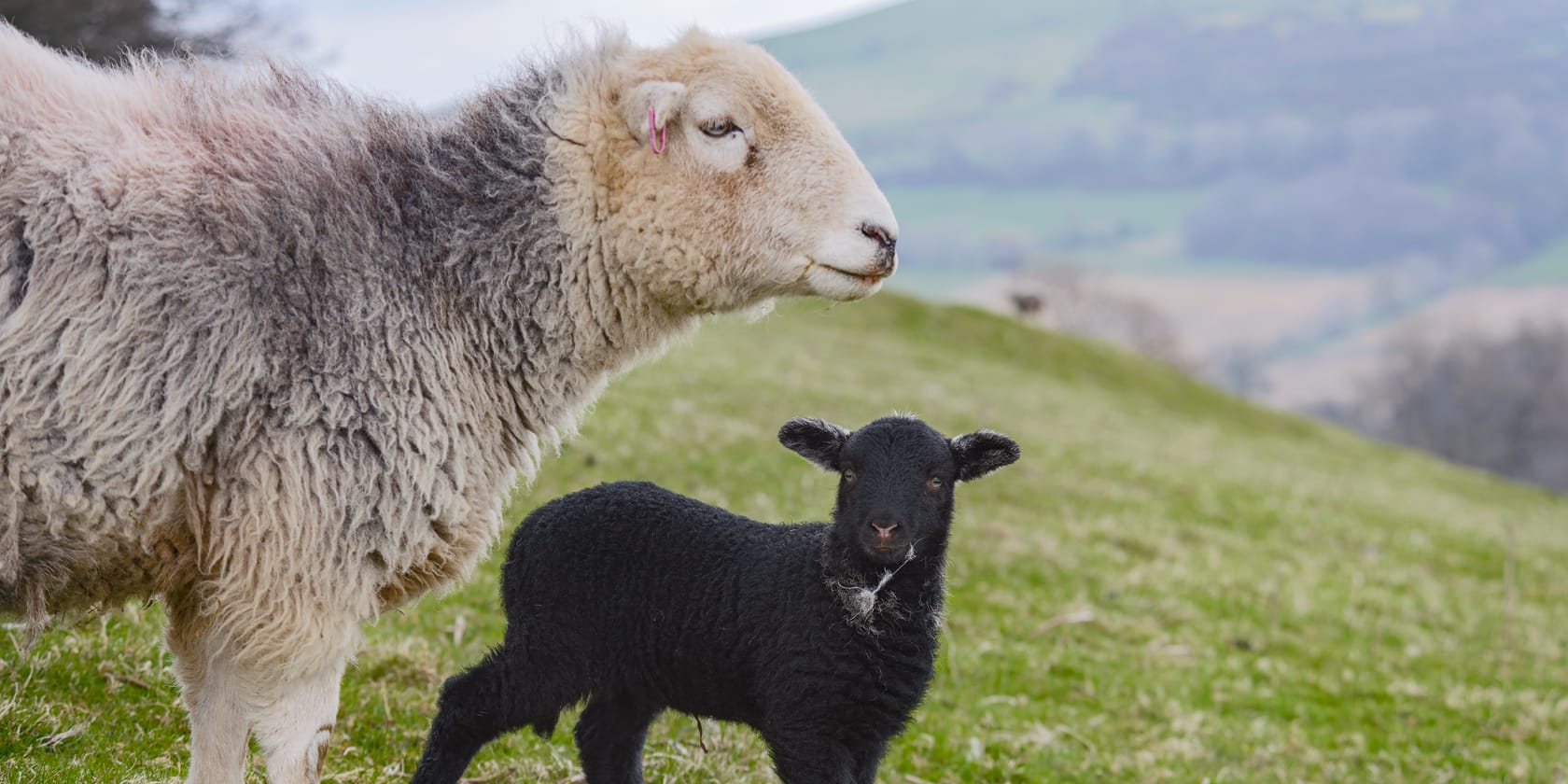 New Herdwick Lambs: May & June On A Herdwick Sheep Farm