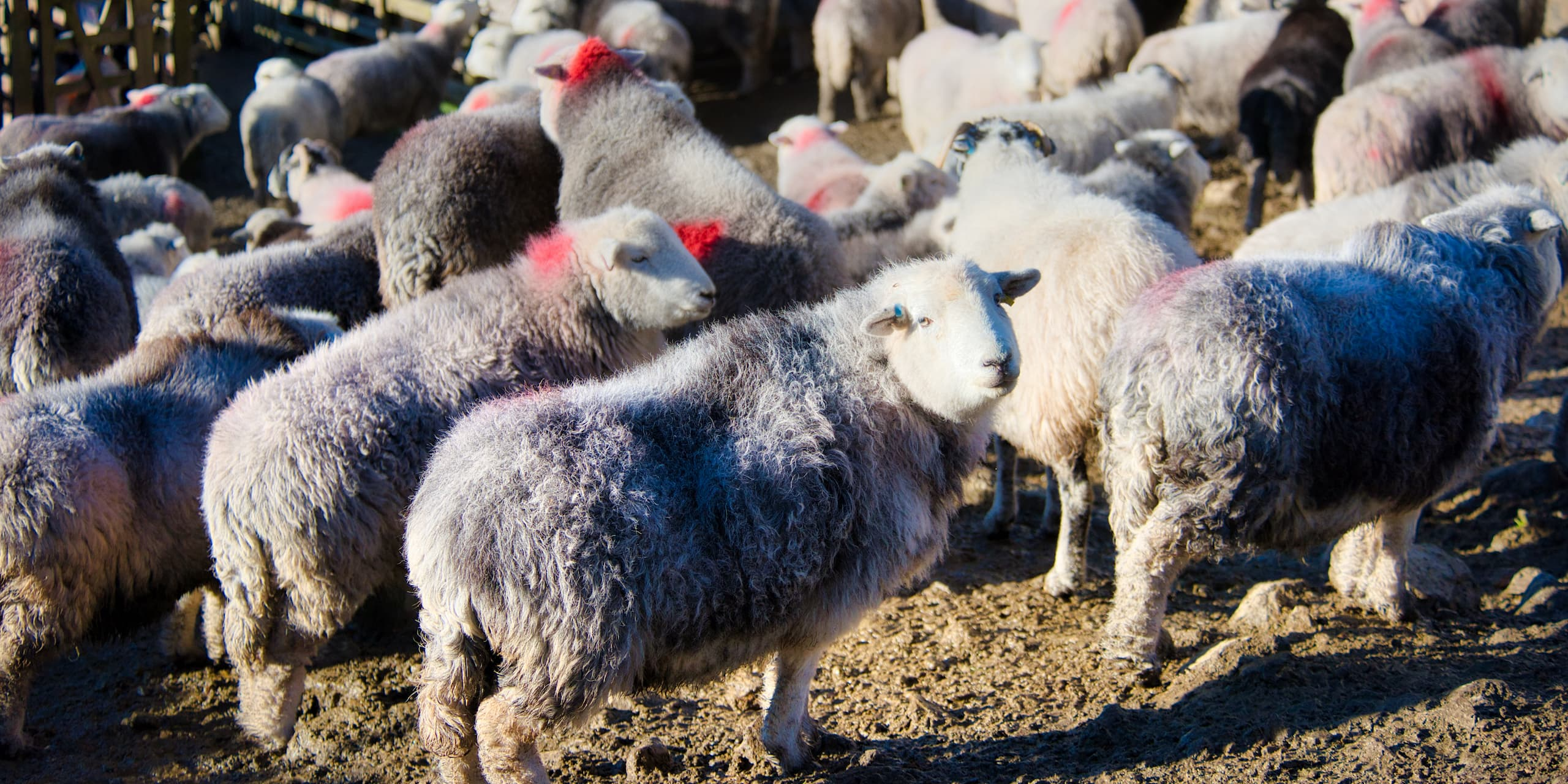 Coloured Markings On Herdwick Sheep