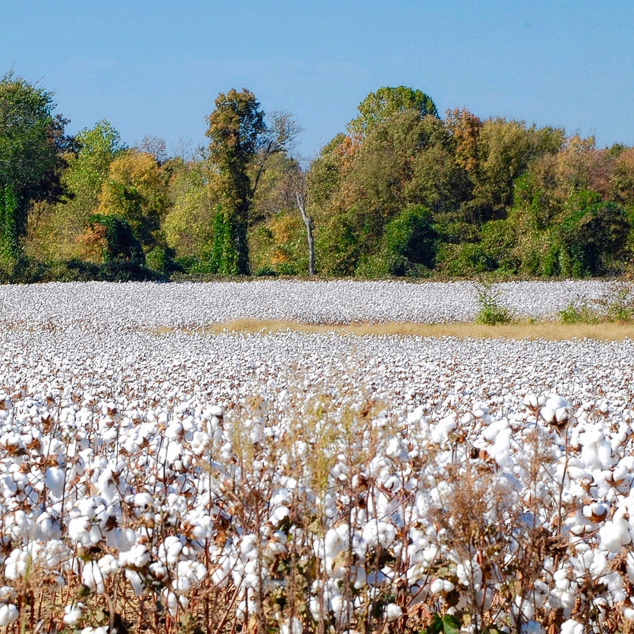 Cotton in West Tennessee, photo by Edgar Pierce (CC-BY-SA-2.0)