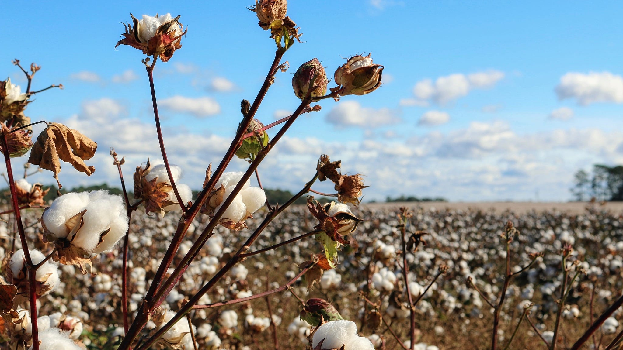 Cotton growing in field with blue skies above