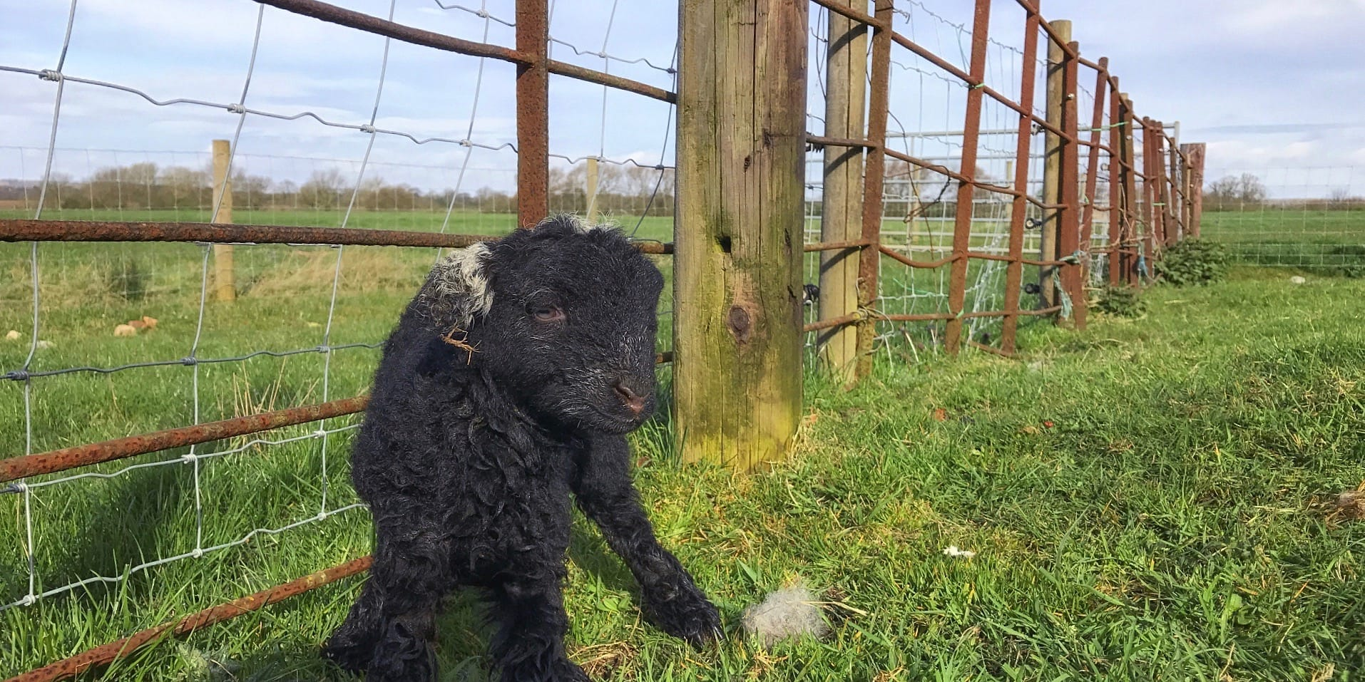 Herdwick Sheep Lambing Tips