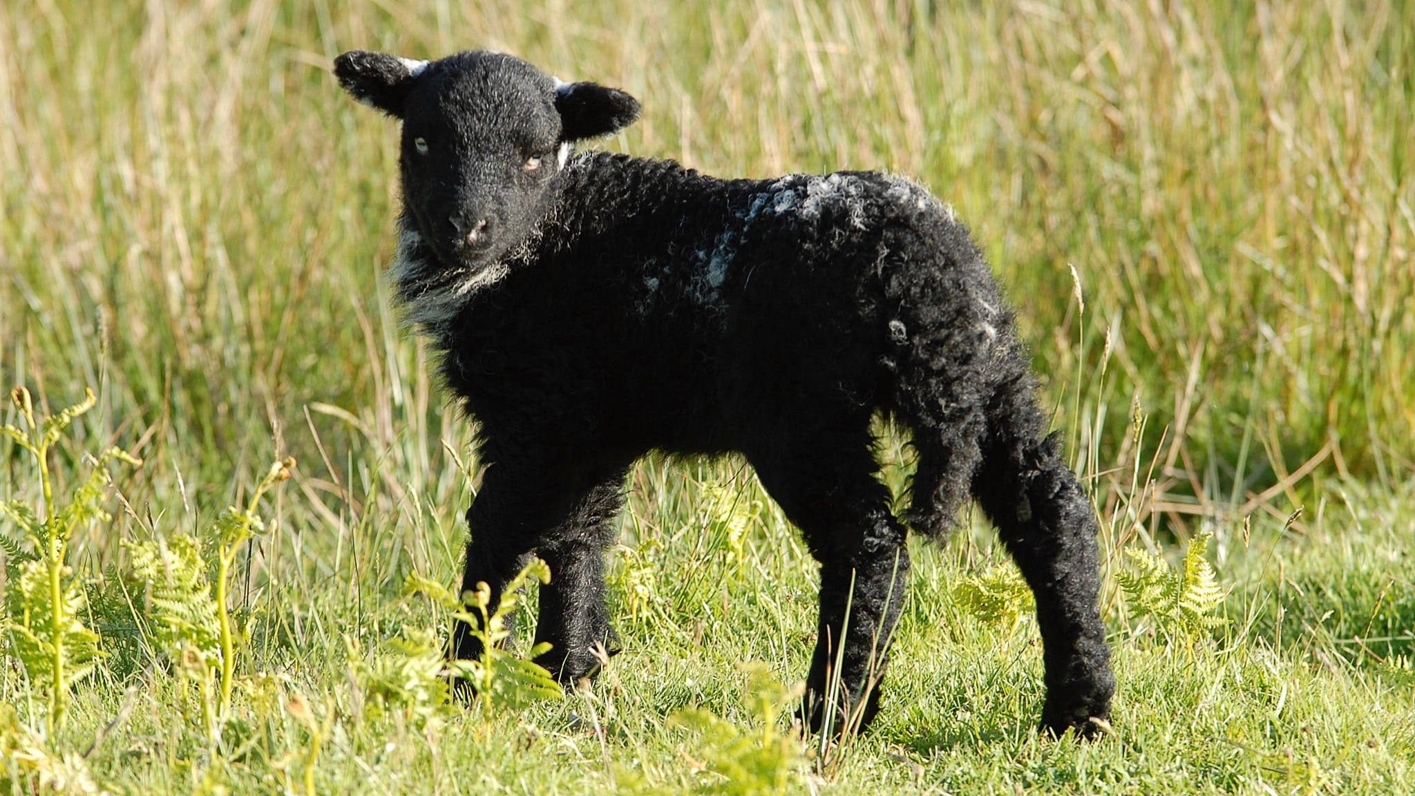 A real Herdwick lamb, with jet black fleece and tufts of white