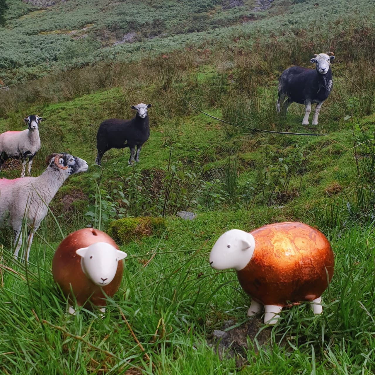 Herdwick sheep looking a little bemused in the presence of the two Copper Herdys