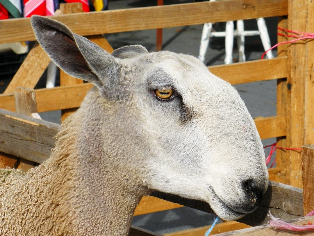 Bluefaced Leicester sheep at Masham Sheep Fair, September 2010, photo by Jane Cooper Orkney (CC-BY-SA-4.0)