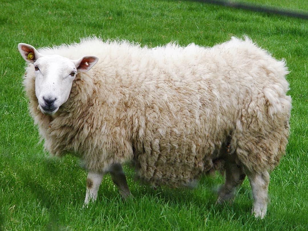Cheviot sheep, photo by Amanda Slater (CC-BY-SA-2.0)
