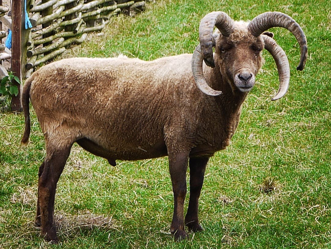 Photo of a four horned Manx Loaghtan sheep, photo by geni (licensed GFDL CC-BY-SA)