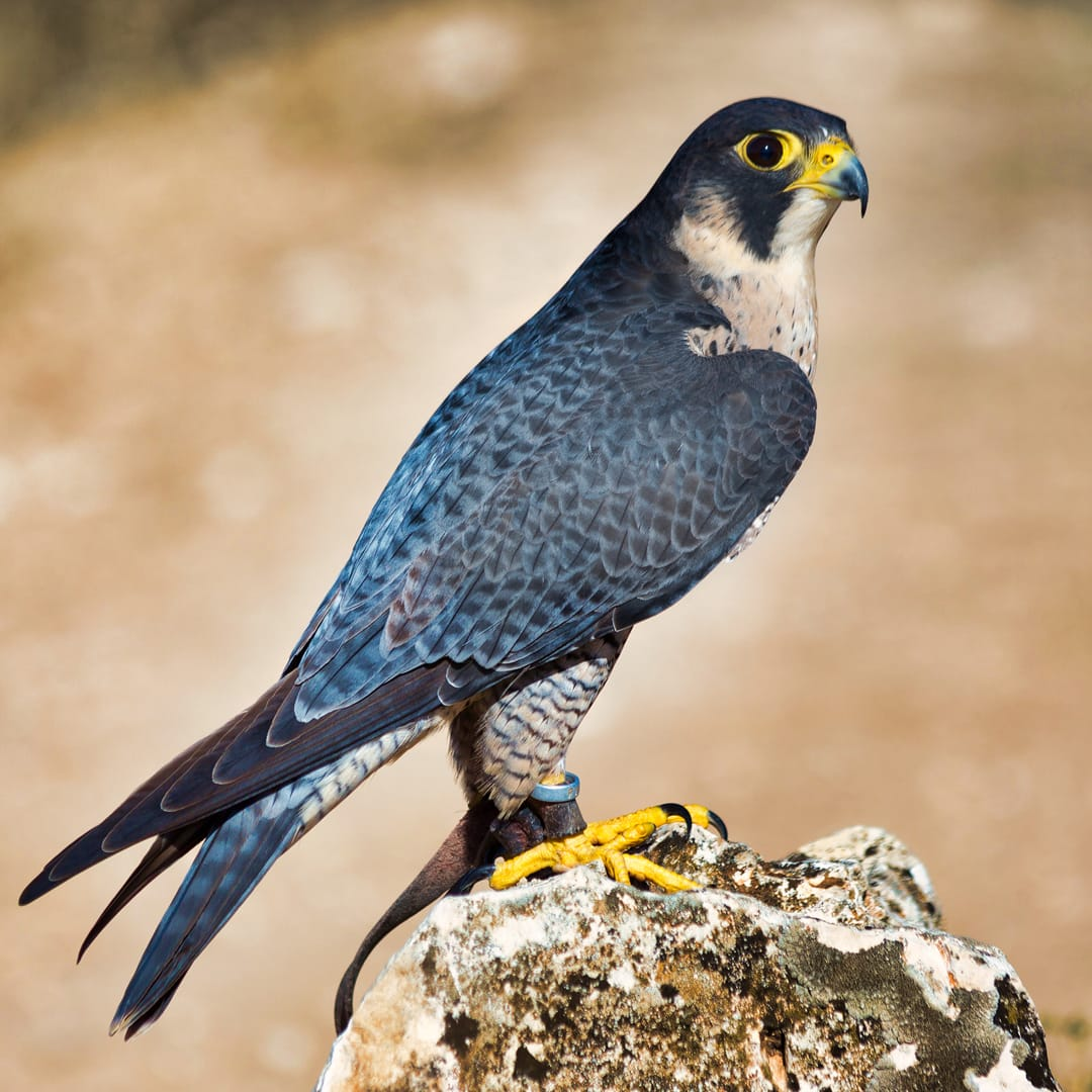 The Peregrine Falcon (Falco Peregrinus), which can be found flying around Helvellyn. Photo by Carlos Delgado, licensed CC-by-SA-4.0