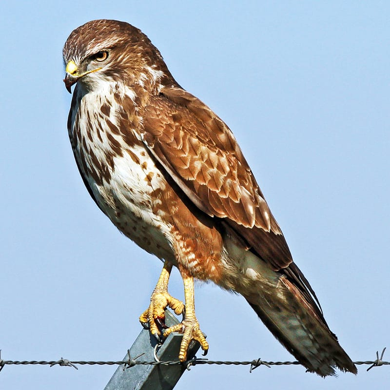 The magnificent Buzzard (buteo buteo). Photo by Björn Strey, licensed CC-by-SA-2.0.