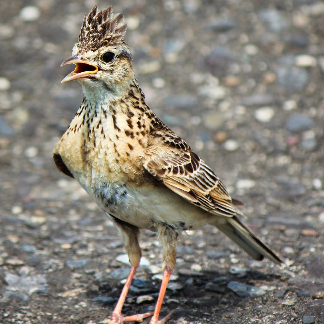A frequent Helvellyn visitor, the Eurasian Skylark (alauda avensis). Photo by Alpsdake, licensed CC-by-SA-3.0