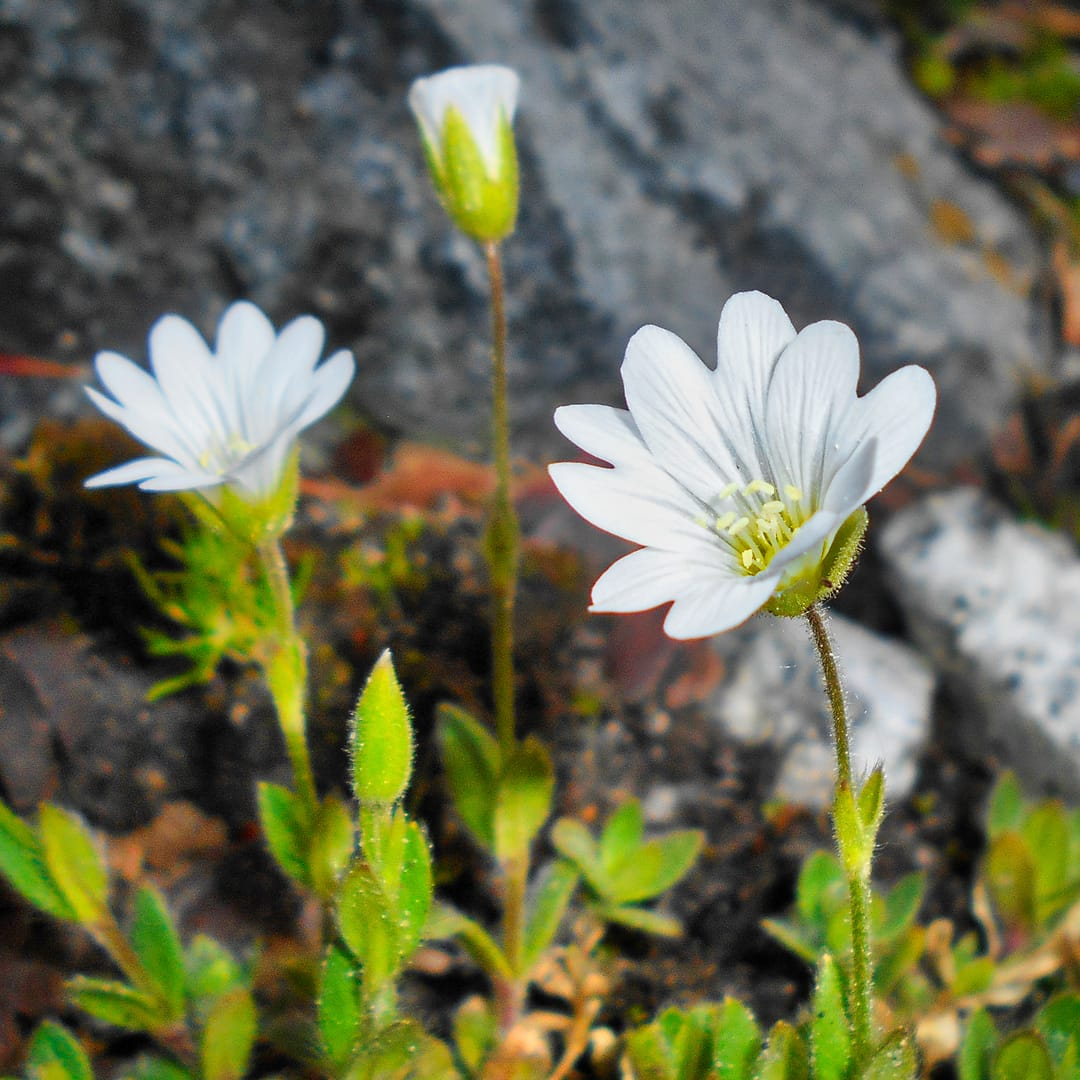 Alpine mouse-ear (Cerastium alpinum). Photo by Salicyna, licensed CC-by-SA-4.0.