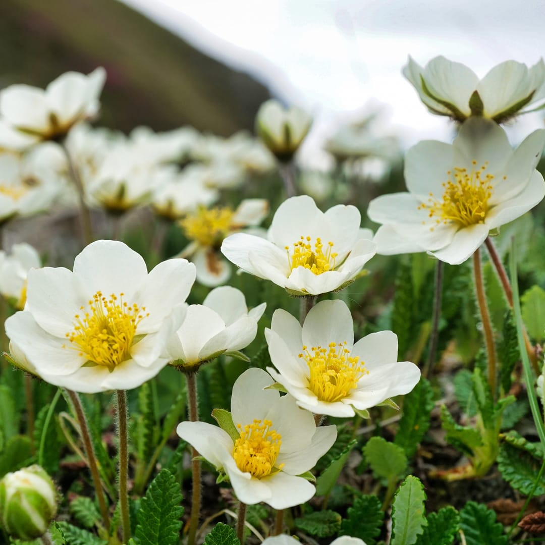 Mountain avens (Dryas Octopetala). Photo by xulescu_g, licensed CC-by-SA-2.0.